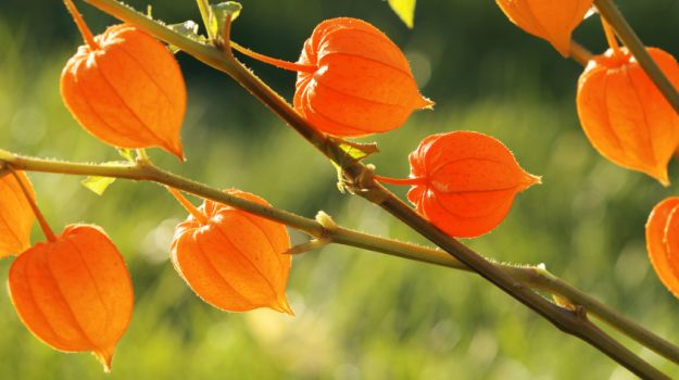 The Health Benefits of Ashwagandha